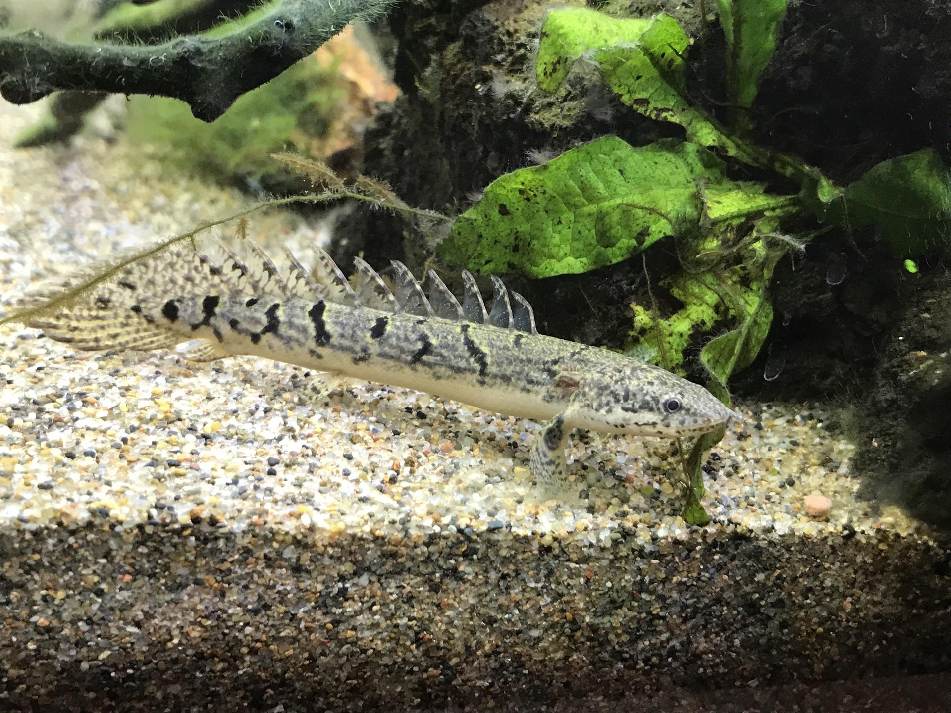 餌 ポリプテルス ポリプテルスラプラディの飼育法(大きさ・成長速度・水槽・餌など)